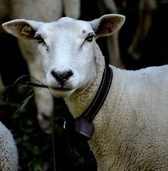 in_style (Max D. Machy) Tags: lake sheep shepherd shawn buck blackforest titisee goodshepherd rolemodel tittie titiseeneustadt hochschwarzwald alsacian tittisee neustadttitisee schwarzwaldbaar schwarzwaldbar