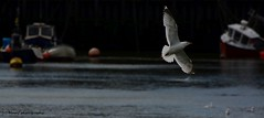 Seagull in Bridlington harbour. (MAMF photography.) Tags: uk greatbritain england photography coast photo google nikon flickr image unitedkingdom harbour britain wildlife seagull north flight gb upnorth bridlington eastcoast eastyorkshire greatphoto googleimages northernengland greatphotographers mamf nikond7100 mamfphotography