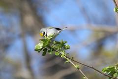 Golden-winged Warbler (Rita Wiskowski) Tags: lakepark