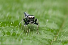 tiny jumping spider (zaidirazak) Tags: macro nature closeup spider wildlife malaysia salticidae zaidirazak