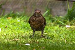 What you looking at? (Myrialejean) Tags: green bird nature grass female outdoors flying wings nikon beak sigma ground winged turdusmerula blackbird turdus bakeh d7200 nikond7200