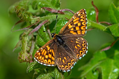 Hamearis lucina - the Duke of Burgundy (male) (BugsAlive) Tags: uk macro nature animal butterfly insect outdoor wildlife butterflies insects gloucestershire lepidoptera dukeofburgundy riodinidae hamearislucina riodininae liveinsects