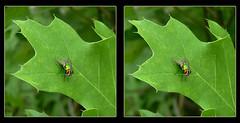 Green Bottle Fly with Spit Bubble Brunch - Crosseye 3D (DarkOnus) Tags: macro green closeup insect lumix fly stereogram 3d crosseye bottle pennsylvania spit blow panasonic stereo bubble brunch stereography buckscounty crossview dmcfz35 darkonus