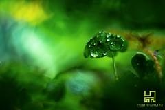 OMBRELLO (Lace1952) Tags: primavera bokeh natura pioggia ombrello gocce sfocato sottobosco zeissplanar50mmf14 nikond7100