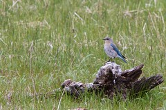 Sitting Pretty (picsfrommt) Tags: yellowstone yellowstonepark