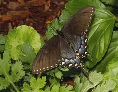Spicebush Swallowtail (Papilio troilus) (AllHarts) Tags: ngc memphistn dixongardens spicebushswallowtailpapiliotroilus butterflygallery naturescarousel