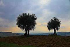panorama con ulivi - Vaccarile di Ostra (walterino1962) Tags: alberi nuvole case ombre erba luci riflessi colline ulivi monti ancona paesi arbusti campicoltivatiearati vaccarilediostra
