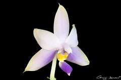 "Phalaenopsis Violacea ""Malaysian Blue"" (Giorgio Armano) Tags: phalaenopsis orchid orchidea orchids orchidee fiore focus flower fiori violacea nikon macro helicon"