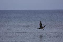 IMG_3425 (YoshGuenther) Tags: ocean bird water outdoors flying puertorico crane pr saltwater aguada gratefulsoulshostel