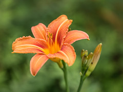 Hemerocallis fulva (++sepp++) Tags: orange nature closeup garden de bayern deutschland lily natur garten nahaufnahme hemerocallis taglilie graben hemerocallisfulva bahnwrtertaglilie braunrotetaglilie