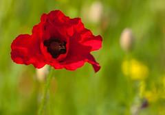 Poppy and Friends.... (explore) (Phillloyd fotographie) Tags: red summer green field bokeh fineart norfolk battle poppy years 100 flanders somm