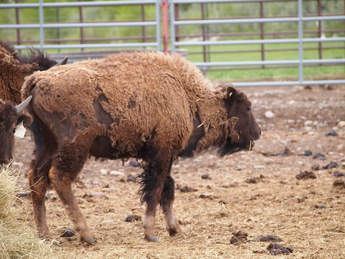 Buffalo Calf Winter Camp, Bison from Elk Island National Park