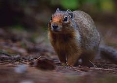 cute critter IMG_2483.jpg (bnetty11) Tags: cute nature walking soft fluffy idaho squirel mccall