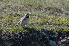 Horned Lark-16-2 (Ian L Winter) Tags: ca canada nature birds newfoundland saintbrides capestmarys capeshore hornedlark newfoundlandandlabrador capestmarysecologicalreserve