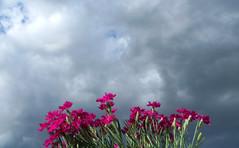 Flowers of Romance (Robert Saucier) Tags: flowers red sky clouds fleurs rouge montral quebec montreal ciel qubec nuages pil publicimagelimited johnlydon johnnyrotten flowersofromance img3108
