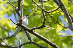 Chestnut-sided Warbler (J.B. Churchill) Tags: birds cswa chestnutsidedwarbler garrett maryland places taxonomy warblers westshaleroad grantsville unitedstates us