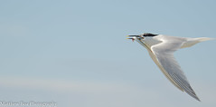 Sandwich tern (Thalasseus sandvicensis) (boamatthew) Tags: uk bird nature nikon wildlife tamron seabird sandwichtern wildlifetrust rspb cemlynbay commonturn d7000 150600mm