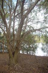 Salix babylonica, Frederick Baldwin Park, Kardinya, Perth, WA, 24/05/16 (Russell Cumming) Tags: plant weed perth westernaustralia salix salicaceae salixbabylonica kardinya frederickbaldwinpark