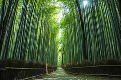 Arashiyama Bamboo Grove at Kyoto, Japan (tomoyaosa) Tags: travel plant tree green japan forest landscape kyoto asia grove bamboo arashiyama