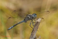 Orthetrum chrysostigma ( BlezSP) Tags: islands dragonflies canarias gran canary canaria damselflies odonata libelulas