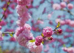 La fuerza de la primavera (Carhove) Tags: flower macro primavera azul spring bokeh flor desenfoque foco nikond300 carhove oltusfotos saariysqualitypictures mygearandme mygearandmepremium mygearandmebronze