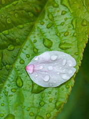 PhoTones Works #1303 (PhoTones_TAKUMA) Tags: macro leaves rain cherry landscape japanese droplets petals spring natural blossoms     omd     em5  zd50mm photones