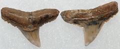 Gray Shark (Carcharinus sp.) (Fossiltoothpic) Tags: macro animal animals canon tooth fossil shark teeth paleontology prehistoric extinct fossils sharkteeth sharktooth 100mmmacro miocene serrations carcharinus grayshark canoneos7d fossilsharktooth fossiltooth fossilteeth