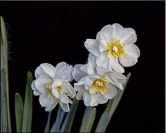 White On Black (glenda.suebee) Tags: flowers ohio macro spring class 2012 onblack ohiofoothills glendaborchelt