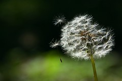 Puff.... (Mi... Po Mi.) Tags: green may seed fluffy dandelion puf