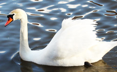 swan (Blobslimes) Tags: freedomtosoarlevel1birdphotosonly