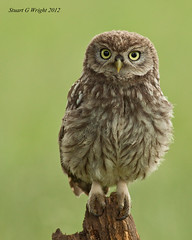Little Owl (Stuart G Wright Photography) Tags: bird birds little wildlife owl prey wwwstuartgwrightcom