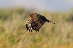 juvenile harrier still in flight school (v_ac_md) Tags: coyote hills