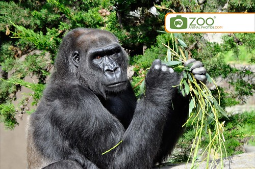 gorilla-with-branch