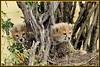 BEAUTIFUL CHEETAH CUBS.....MASAI MARA...OCT 2011......185 (M Z Malik) Tags: nikon kenya wildlife ngc safari npc cheetah masaimara thegalaxy specanimal d3x flickrbigcats allofnatureswildlifelevel1 allofnatureswildlifelevel2 allofnatureswildlifelevel3 allofnatureswildlifelevel4 exoticafricancats me2youphotographylevel2 me2youphotographylevel3 me2youphotographylevel1 me2youphotographylevel4 200400mm14afs