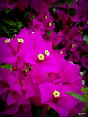 Bougainvillea Elizabeth Angus 1 (1guy2be) Tags: pink color southamerica landscape spring flora purple florida magenta fuchsia vine bougainvillea evergreen flowercloseup santarita thorny nyctaginaceae veranera showy bugambilia buganvlea trinitaria richardelliott flordepapel ultraviloet rickelliott 1guy2be elizabethangus in2it2much richardpriceelliott elizabethangusbougainvillea buvi bugambiliasantarita