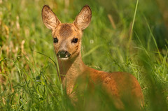 In good company (Lucky Lucas) Tags: cute nature grass wildlife ears gras calf roedeer d300 ree reekalf