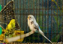 LoveBirds - مرغ عشق (Aria Mehr) Tags: bird lovebirds parot طوطی مرغعشق