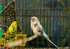 LoveBirds - مرغ عشق (Aria Mehr) Tags: bird lovebirds parot طوطی مرغعشق