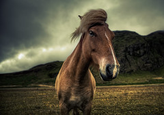 Icelandic Horse (murphyz) Tags: travel horse animal clouds canon landscape photography iceland dramatic scene equine murphyz