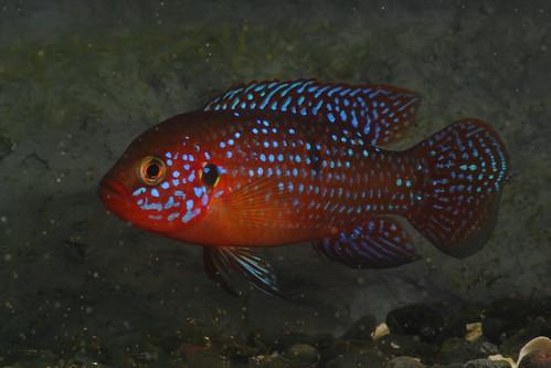 Red Jewel Cichlid Red jewel cichlid