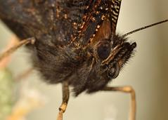 Peacock (Shane Jones) Tags: macro butterfly insect nikon peacock compoundeye canon500d macrolicious tamron180mmmacro macrolife d7000 pk3extensiontube kenkoteleplusp300tc14