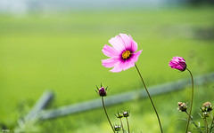 (d3sign) Tags: plant flower nature spring wind blossom windy cosmos bipinnatus