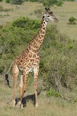 Giraffe - Giraffa camelopardalis DSC_6553 (Mary Bomford) Tags: africa kenya wildlife safari giraffe masaimara giraffacamelopardalis masaimaranationalreserve artiodactyla giraffidae