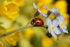 forget-me-not (trackybottoms) Tags: flowers macro garden spring ladybird forgetmenot