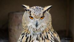 Sibirischer Uhu (Tilo Friedmann) Tags: bayern deutschland olympus april 169 zuiko naturpark wildpark 2014 falkner hundshaupten egloffstein micro43 microfourthirds omdem1 m40150mmf4056r