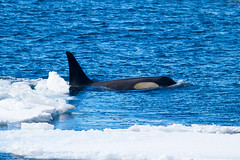 23143-Killer-whale-hunting-in-the-pack-ice (jtchobanoff) Tags: antarctica orcas rosssea