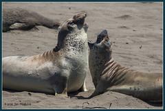 Jousting Elephant Seals 7375 (maguire33@verizon.net) Tags: california us unitedstates wildlife seal arguing argument sansimeon discussion molt jousting rookery elephantseal piedrasblancas molting