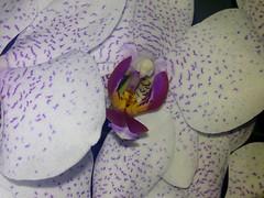 (doloreslopez2) Tags: flora flor orquidea morada