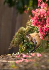 Playful kit. (rishaisomphotography) Tags: flowers cute nature mammal morninglight furry fuzzy wildlife naturallight kit playful vulpesvulpes babyanimal wildlifephotography naturephotographer foxkit redfoxkit