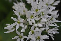Allium ursinum (johan van moorhem) Tags: home look garden belgium belgique belgi westvlaanderen garlic tuin thuis rare flanders vlaanderen alliumursinum beernem bearsgarlic daslook zeldzaam aildesbois